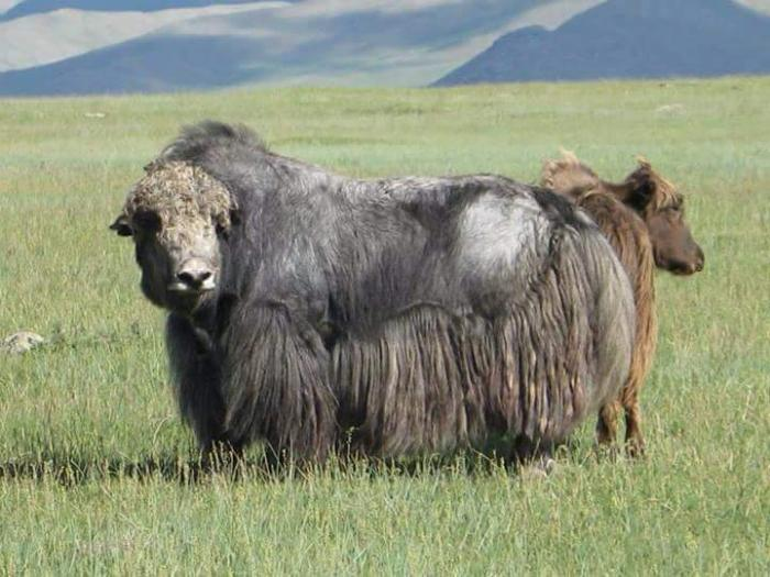 yak wool from yaks in Mongolia